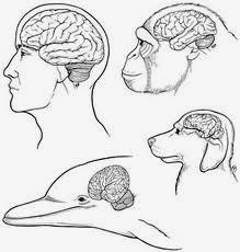 cervelli di animali a confronto
