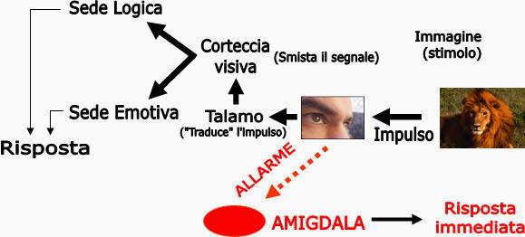 Amigdala risposta immediata
