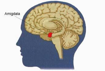 amigdala dove si trova