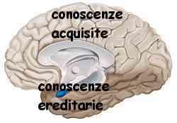 Istinto e ragione amigdala e neocorteccia 006