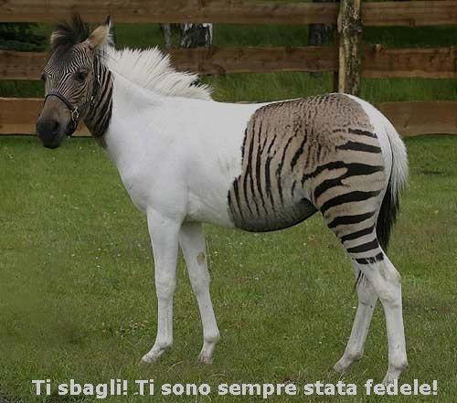 una zebra a pois