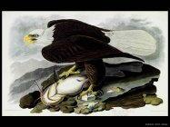 Audubon John James 003