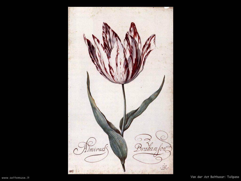 Tulipano Van Der Ast Balthasar