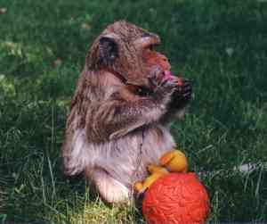 Questa è Disfa, una furba scimmietta che ne faceva di tutti i colori