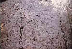I castagni del giardino ricamati dal freddo