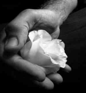 Attilio Bertolucci - La rosa bianca