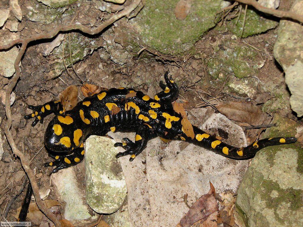 foto di salamandre per sfondi