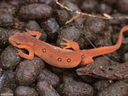 Foto sfondi salamandre