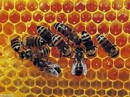 Foto sfondi api vespe