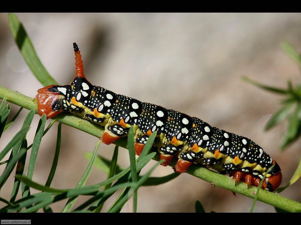 Foto sfondi di Bruchi e larve 035