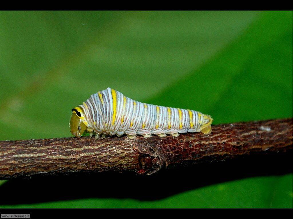 Foto sfondi di Bruchi e larve 036