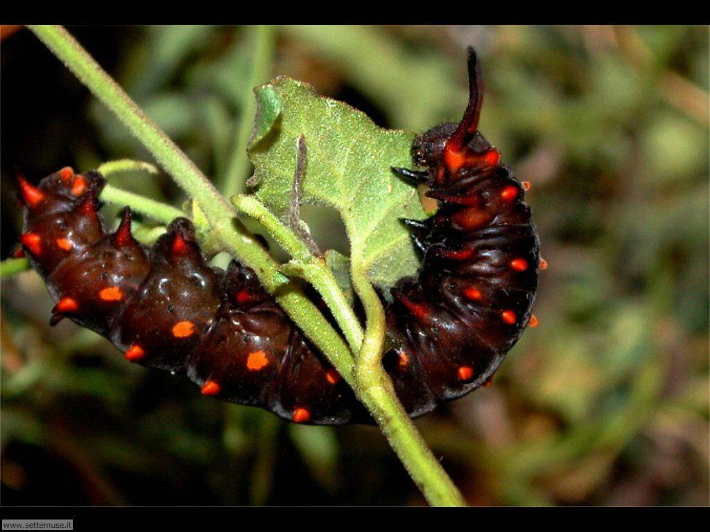 Foto sfondi di Bruchi e larve 040