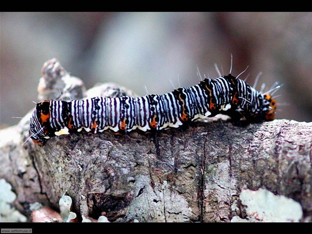 Foto sfondi di Bruchi e larve 042