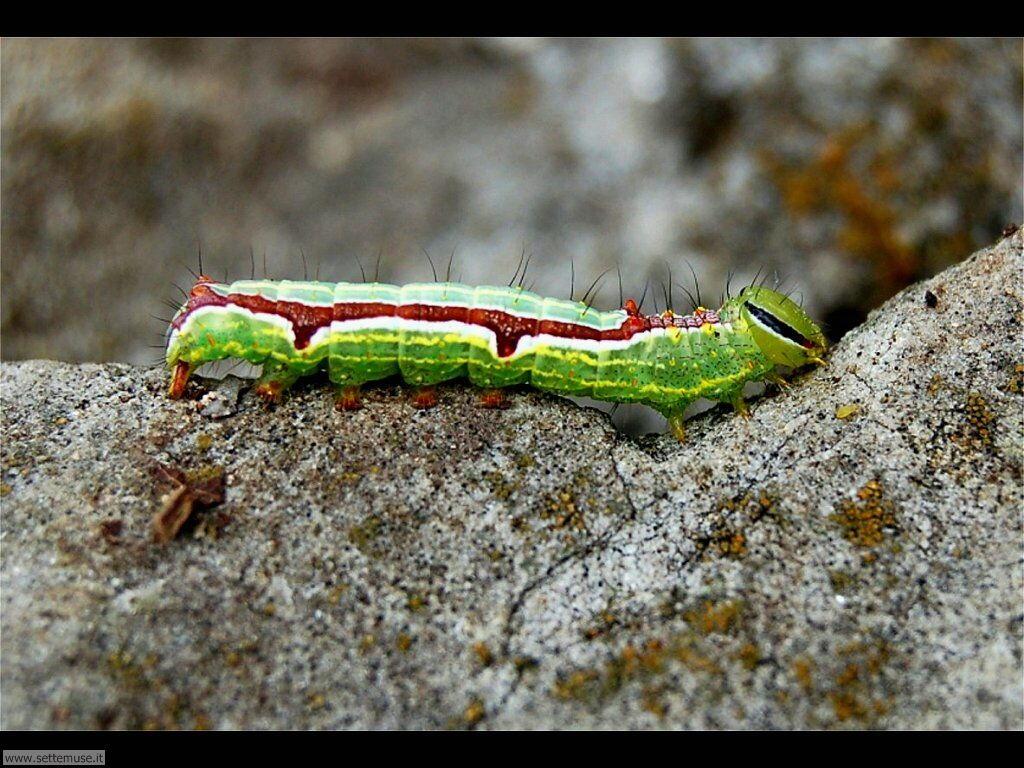 Foto sfondi di Bruchi e larve 043