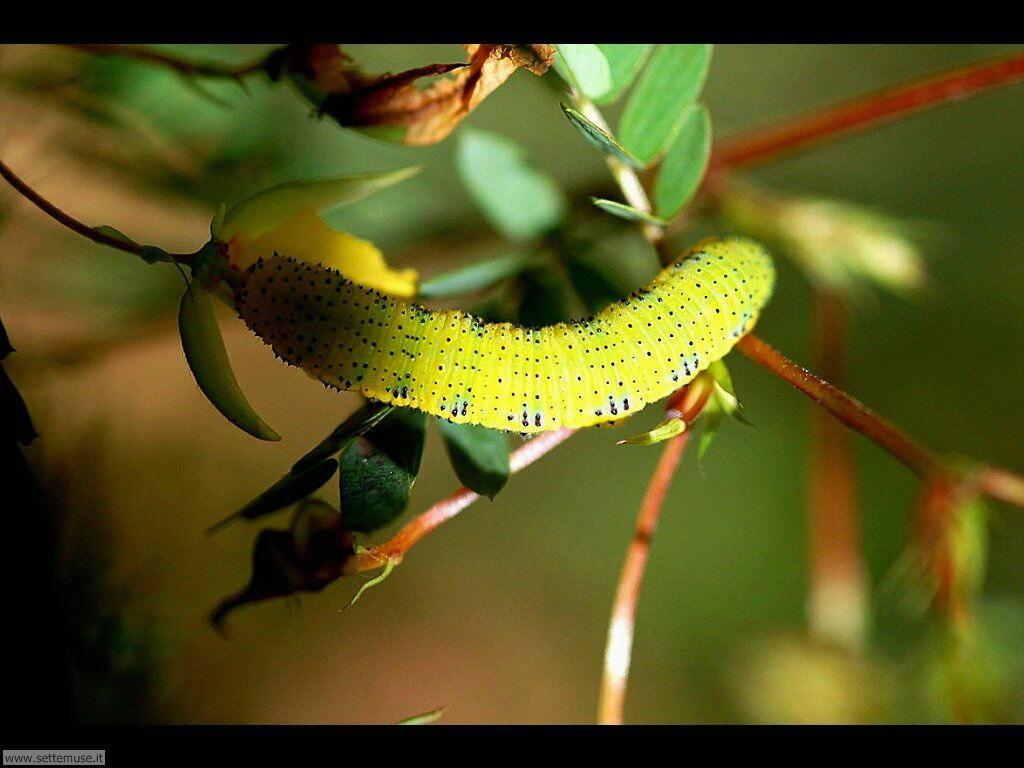 Foto sfondi di Bruchi e larve 044