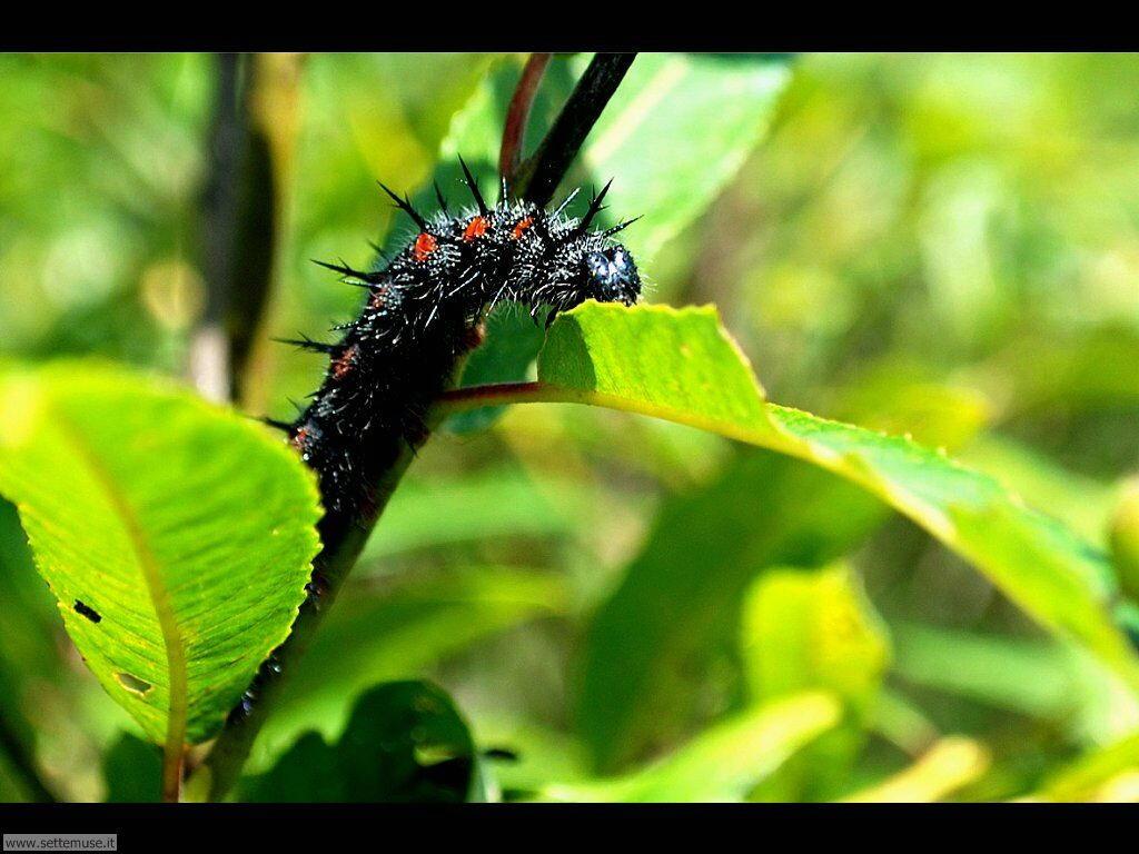Foto sfondi di Bruchi e larve 046