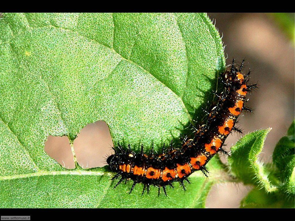 Foto sfondi di Bruchi e larve 047
