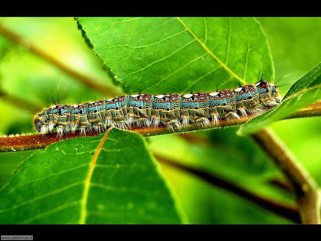 Foto sfondi di Bruchi e larve 049