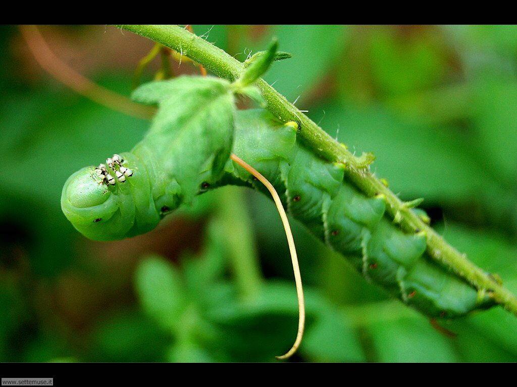 Foto sfondi di Bruchi e larve 054