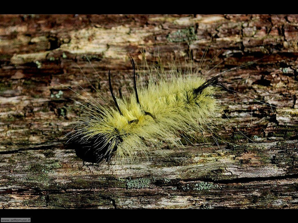 Foto sfondi di Bruchi e larve 056