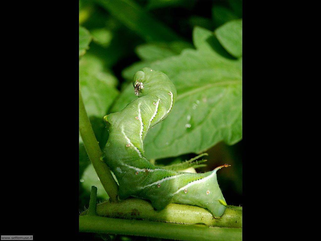 Foto sfondi di Bruchi e larve 059