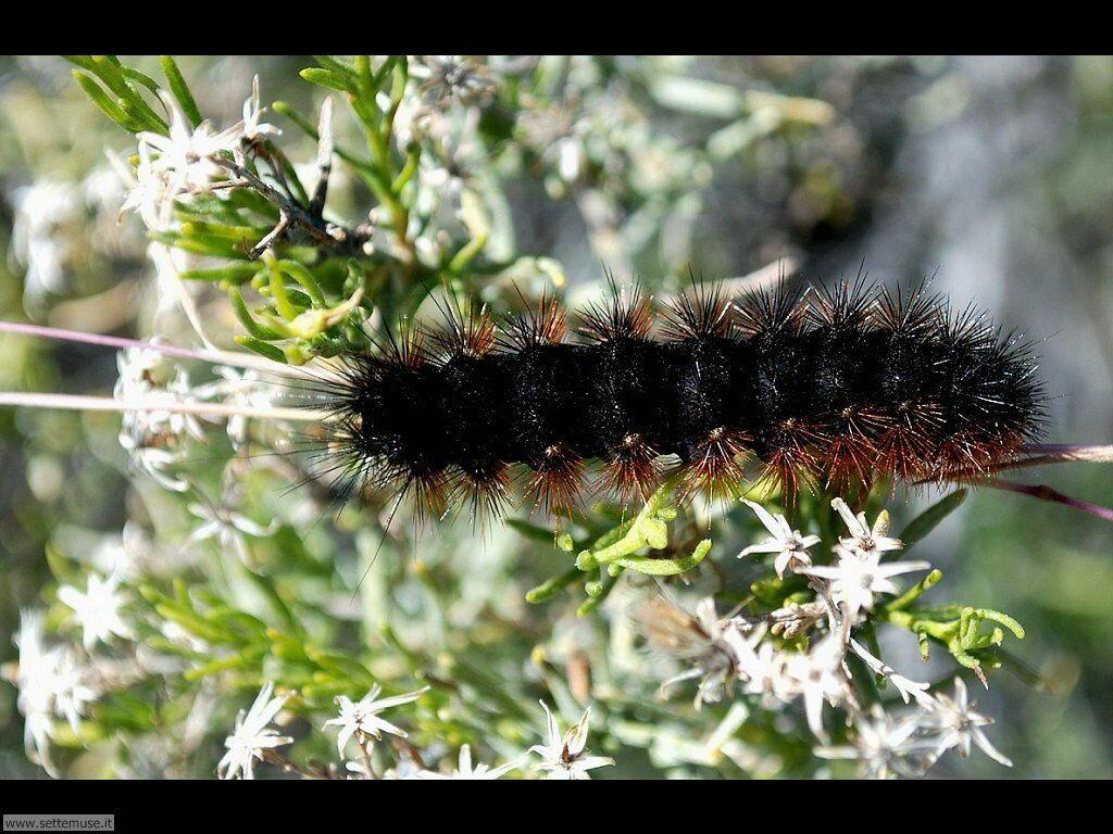 Foto sfondi di Bruchi e larve 062
