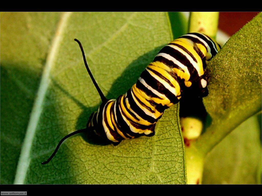 Foto sfondi di Bruchi e larve 063