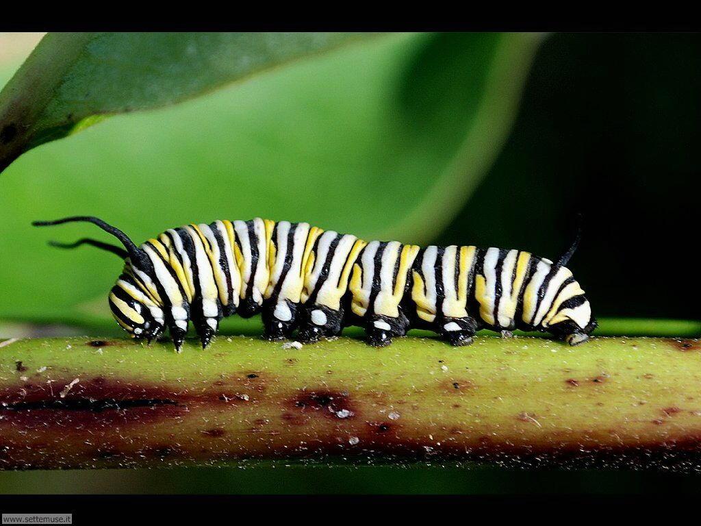 Foto sfondi di Bruchi e larve 064