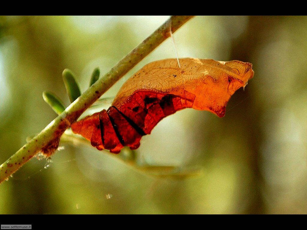 Foto sfondi di Bruchi e larve 067
