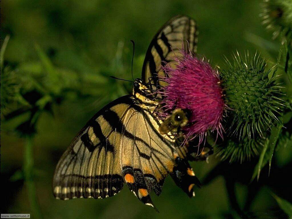 Foto di Farfalle 001