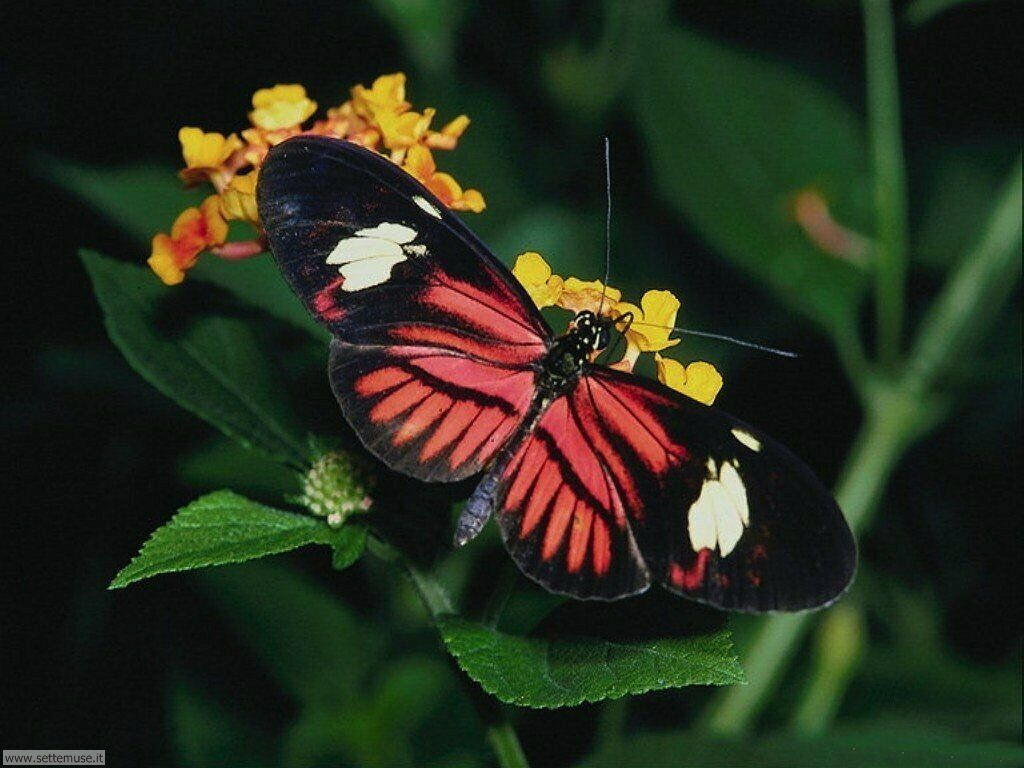 Foto di Farfalle 002
