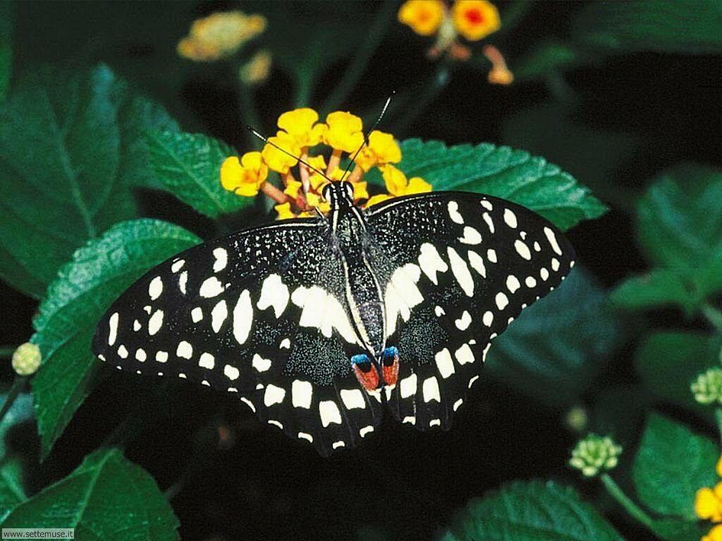 Foto di Farfalle 008
