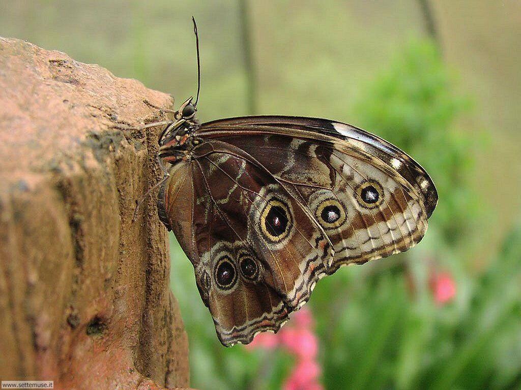 Foto di Farfalle 011