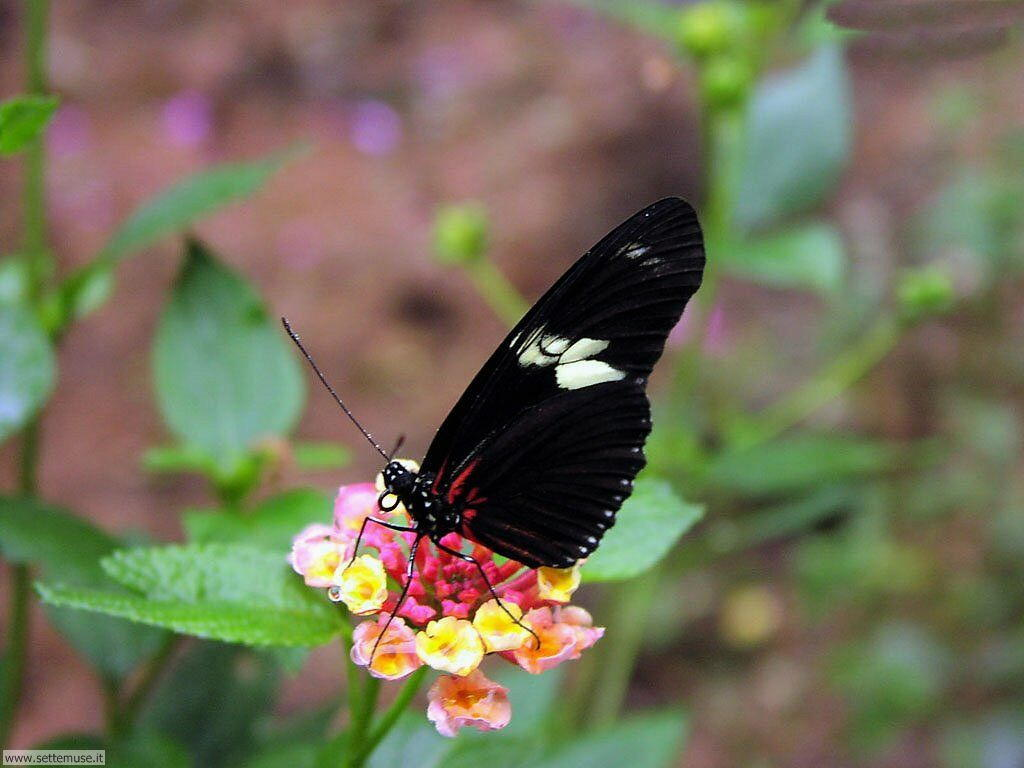 Foto di Farfalle 014
