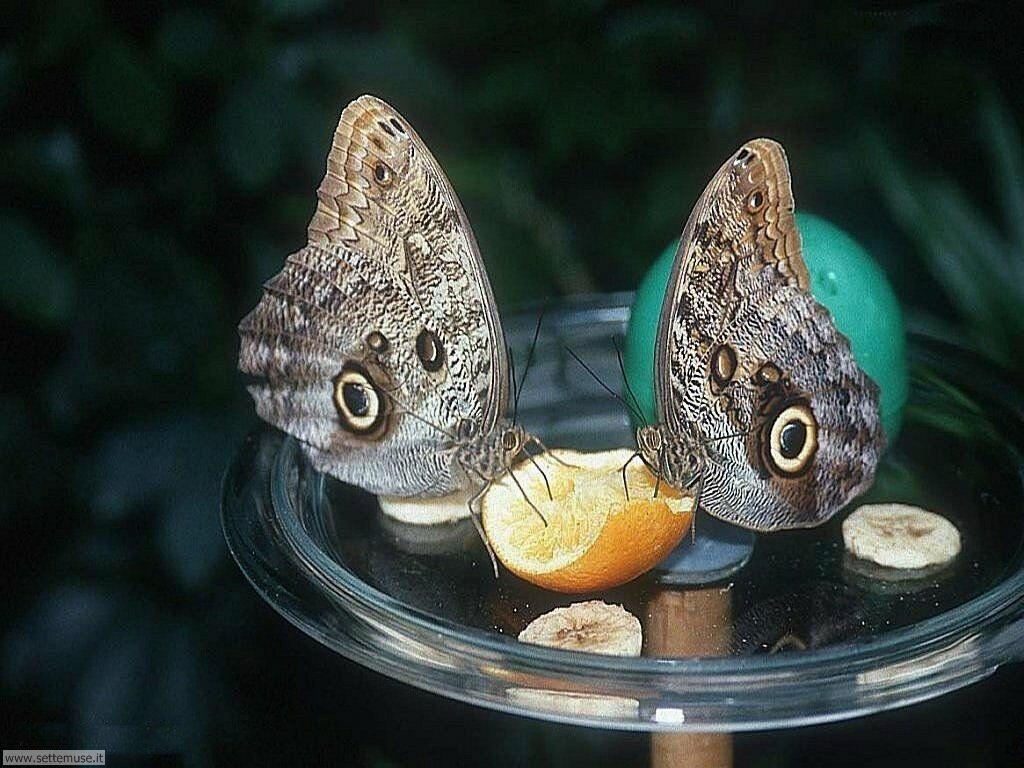 Foto di Farfalle 015