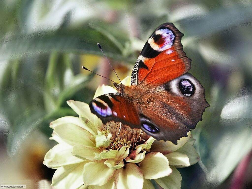 Foto di Farfalle 020