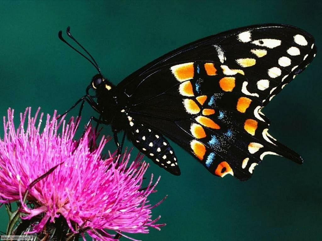 Foto di Farfalle 023