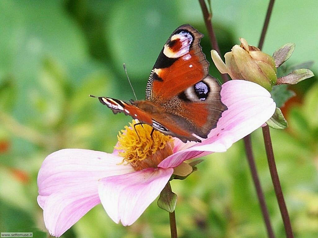 Slideshow foto farfalle for Sfondi farfalle gratis