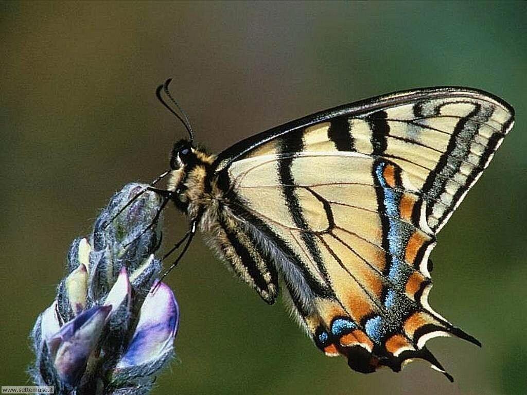 Foto di Farfalle 027