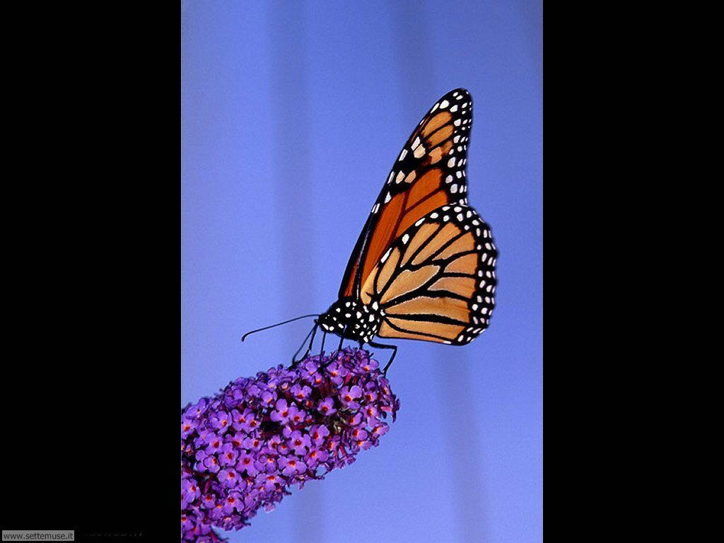 Farfalle for Sfondi farfalle gratis