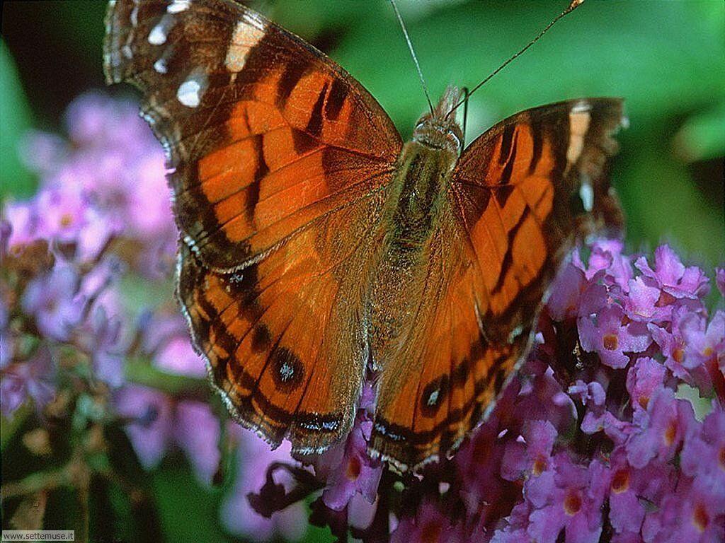 Foto di Farfalle 031