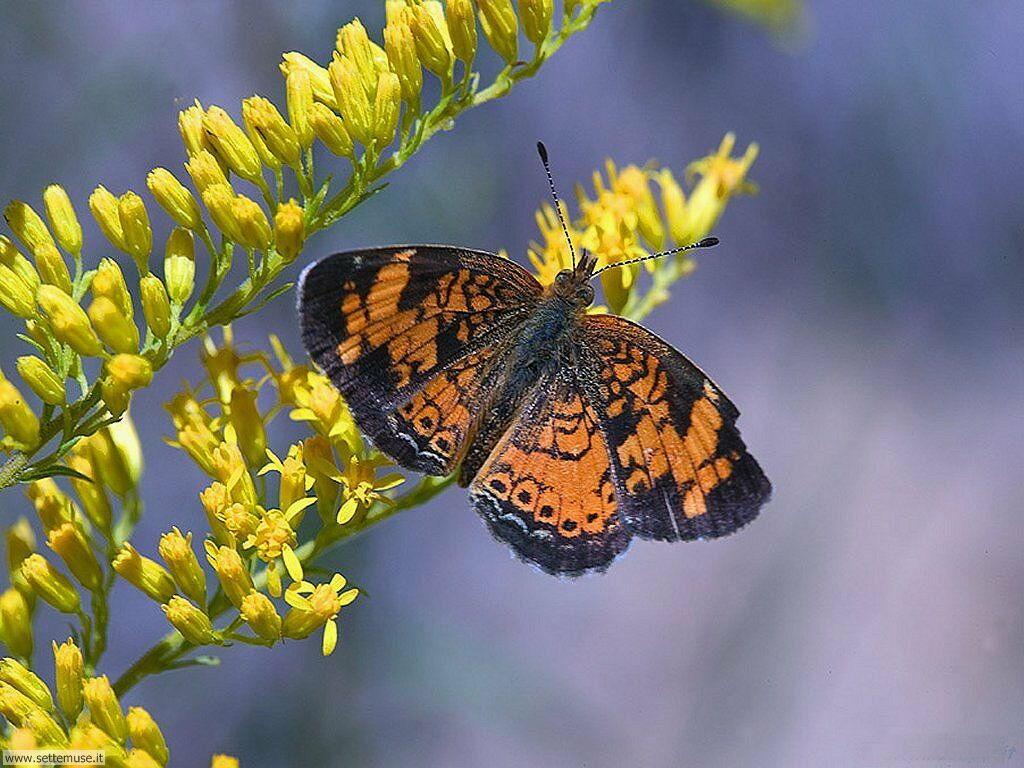 Foto di Farfalle 035