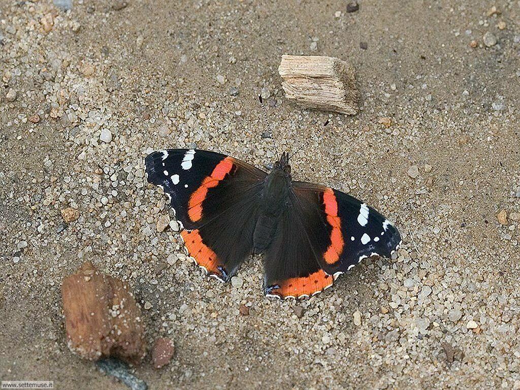 Foto di Farfalle 036