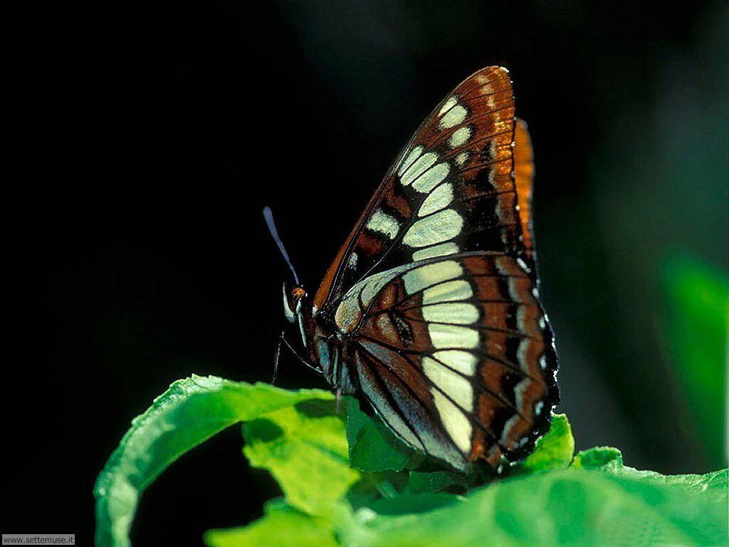 Foto di Farfalle 038