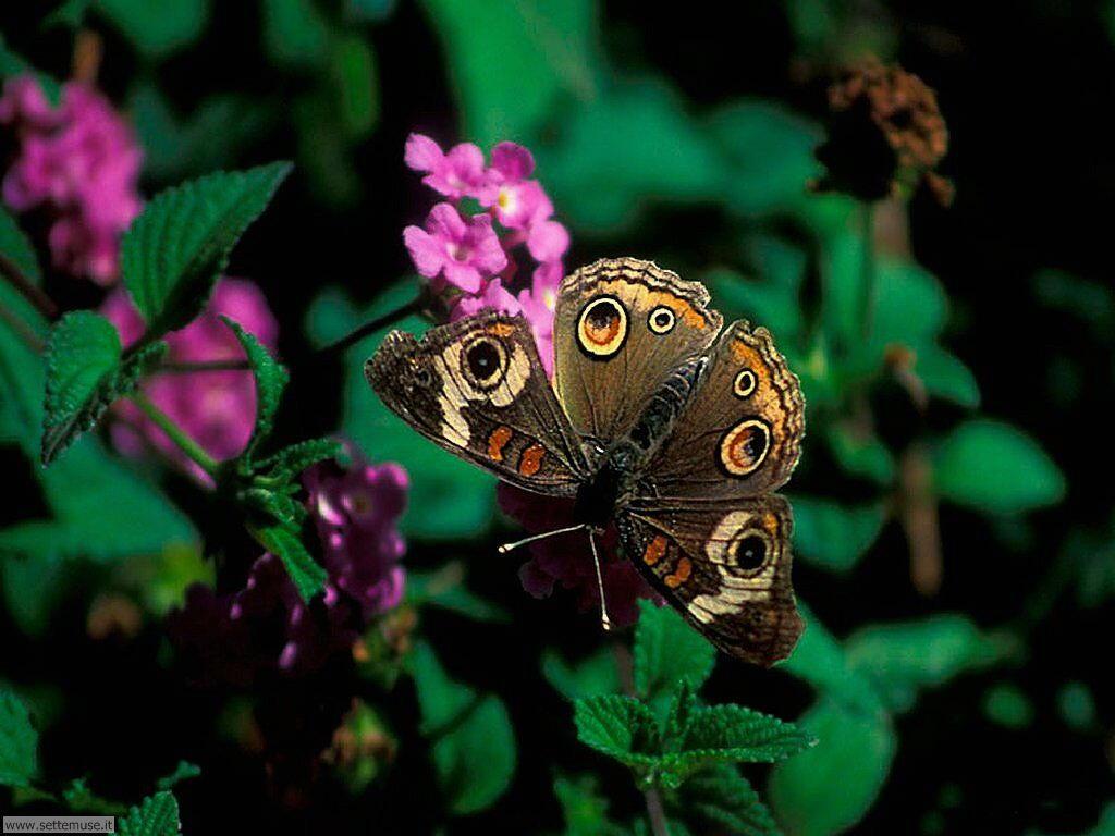Foto di Farfalle 039