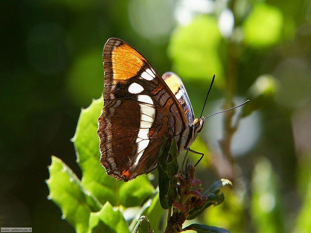 Foto di Farfalle 040