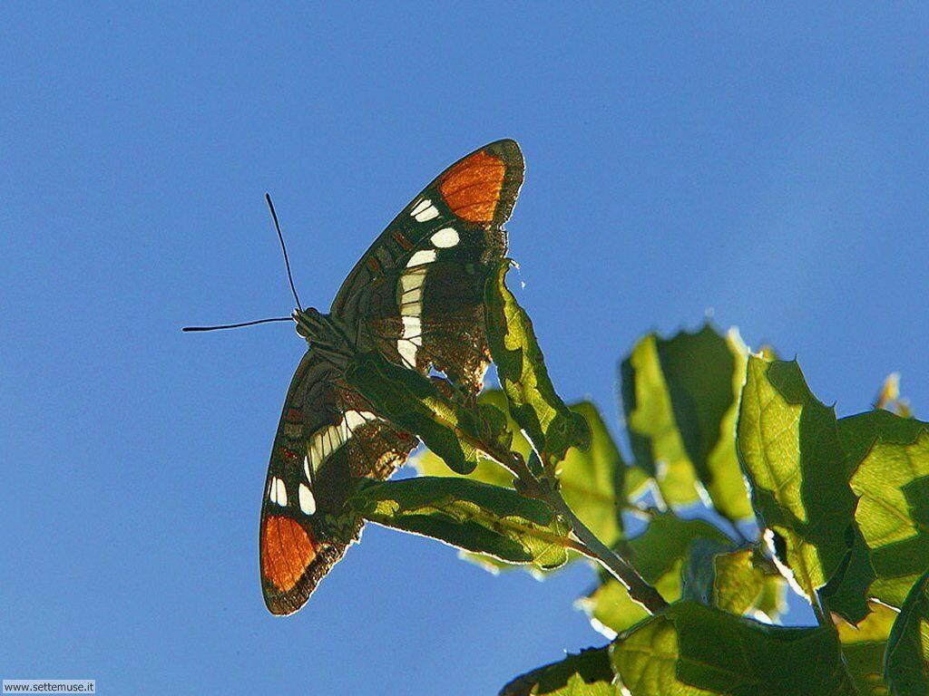 Foto di Farfalle 041