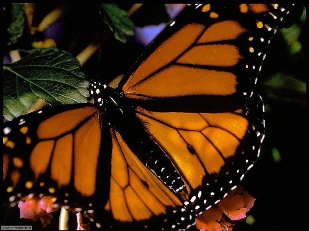 Foto di Farfalle 050