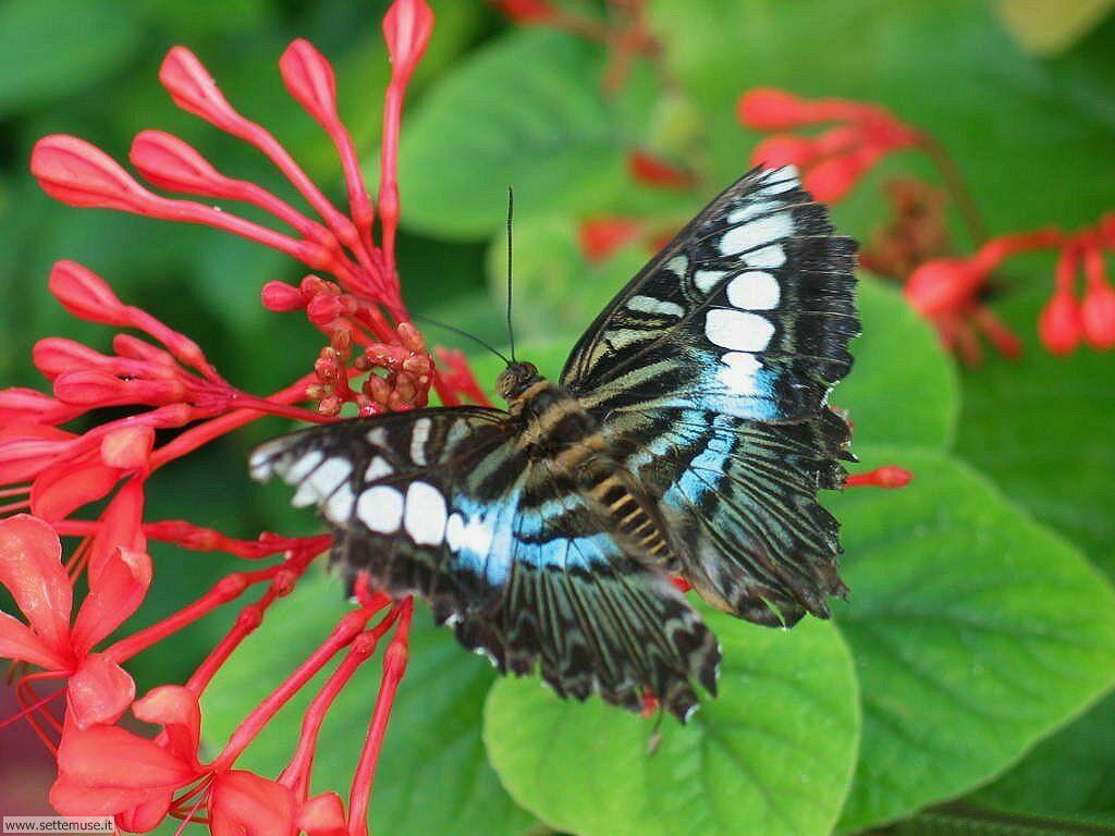 Foto di Farfalle 055