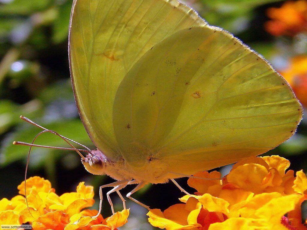 Foto di Farfalle 062